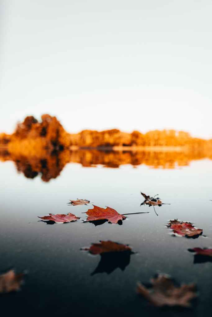 maple leaves on water